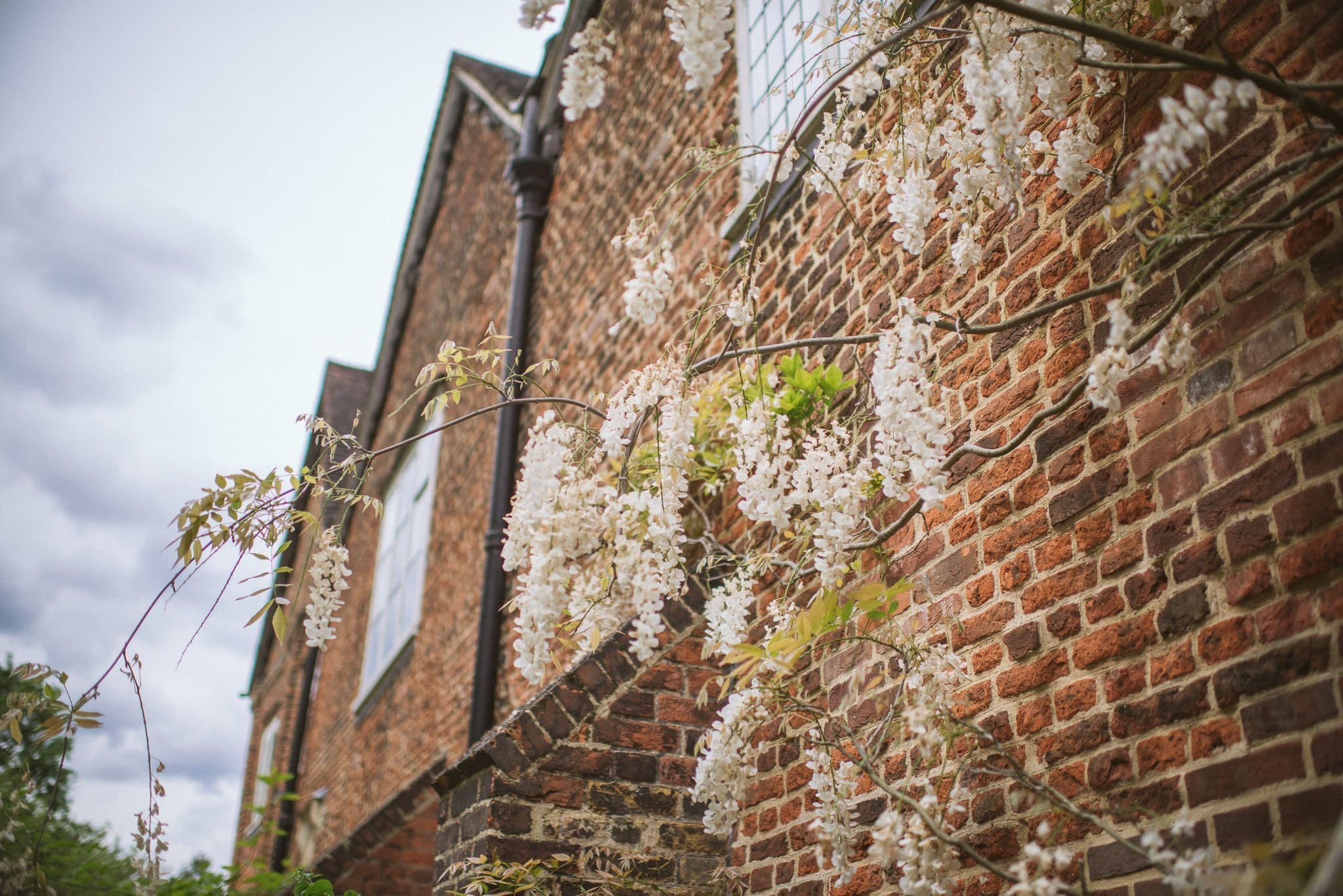 A shot of the wisteria climbing the red brick walls at Fulham Palace